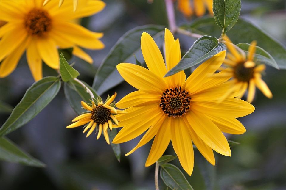 kvetoucí topinambur